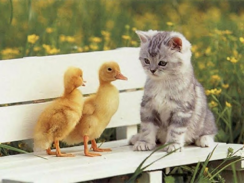 Wallpaper 1 chat et 2 poussins Animaux