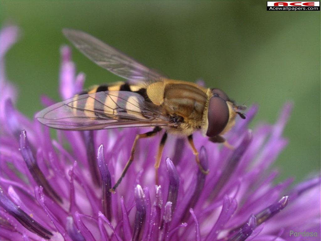 Wallpaper Animaux abeille