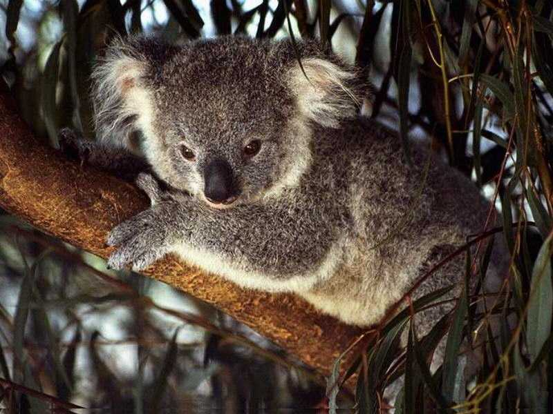Wallpaper koala Animaux