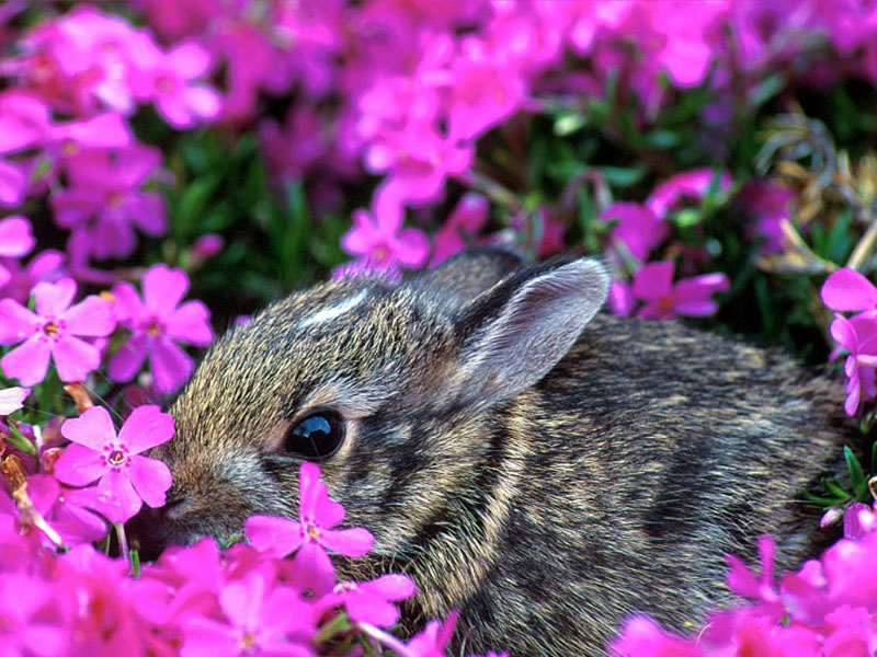 Wallpaper Animaux lapin