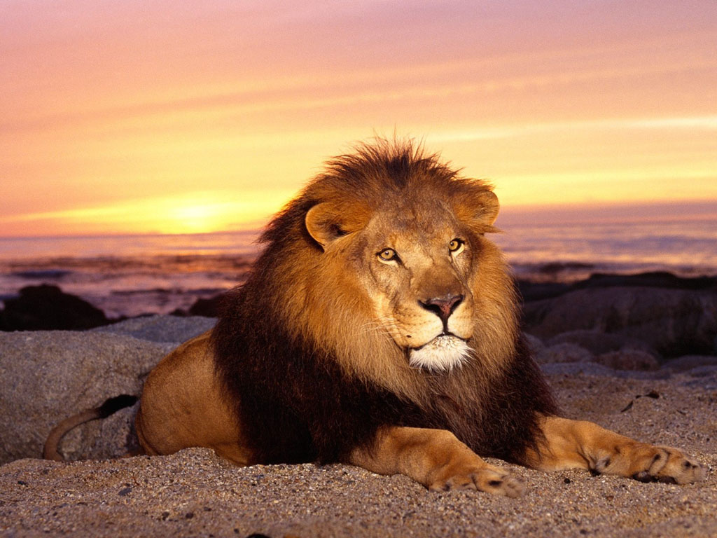 Wallpaper lion Animaux