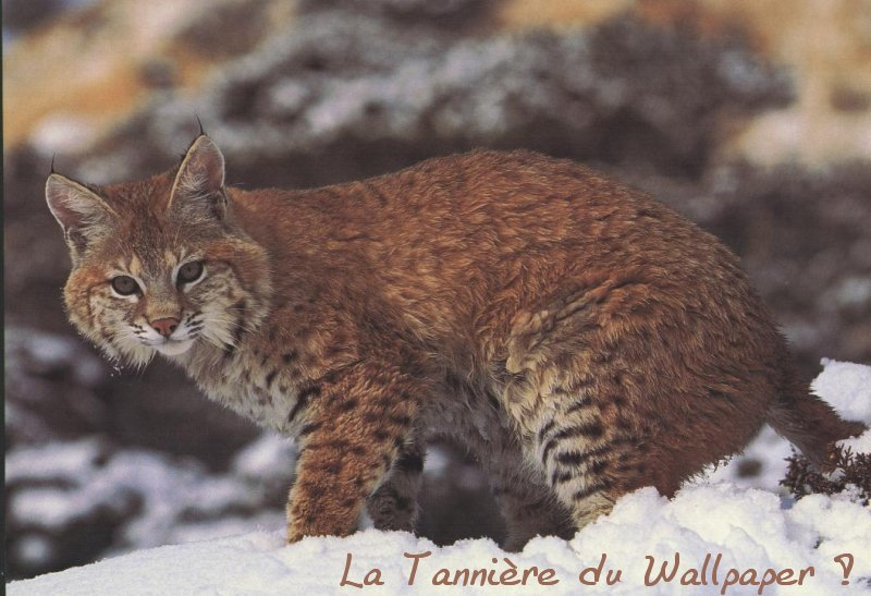 Wallpaper lynx Animaux
