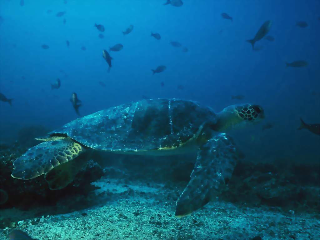 Wallpaper Animaux tortue de mer