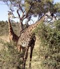 Wallpaper Animaux 2 belles girafes