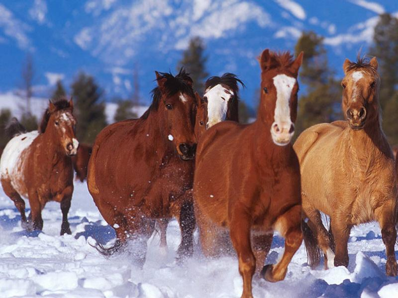 Wallpaper chevaux Animaux