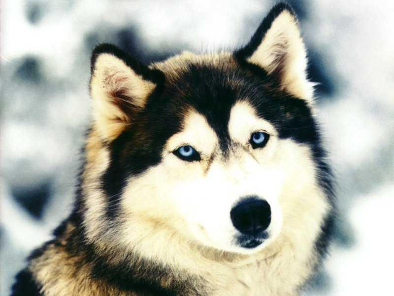 Wallpaper chien Animaux