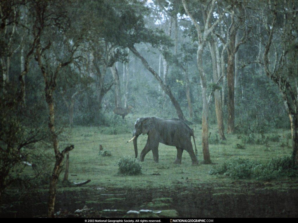 Wallpaper Animaux elephant
