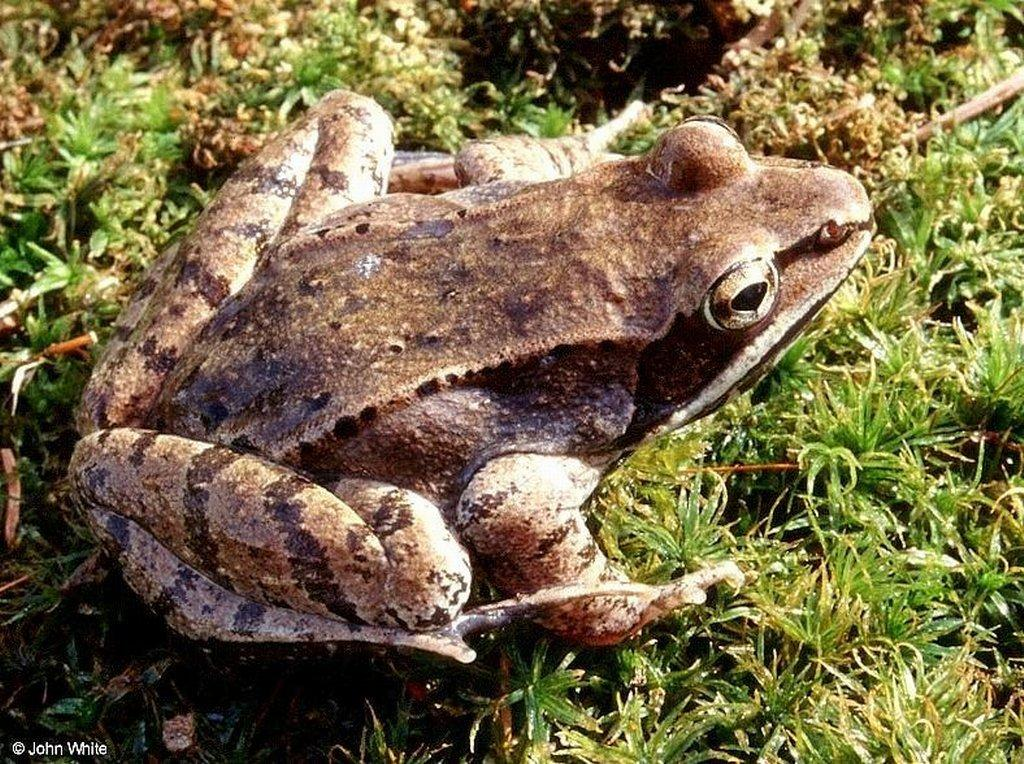 Wallpaper Animaux grenouille