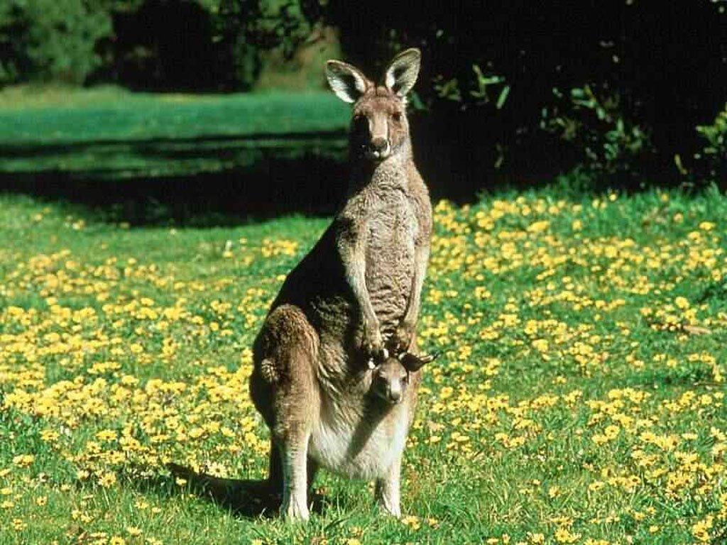 Wallpaper Animaux kangourou