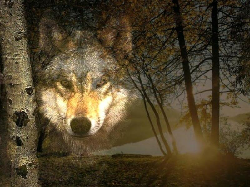 Wallpaper loup Animaux