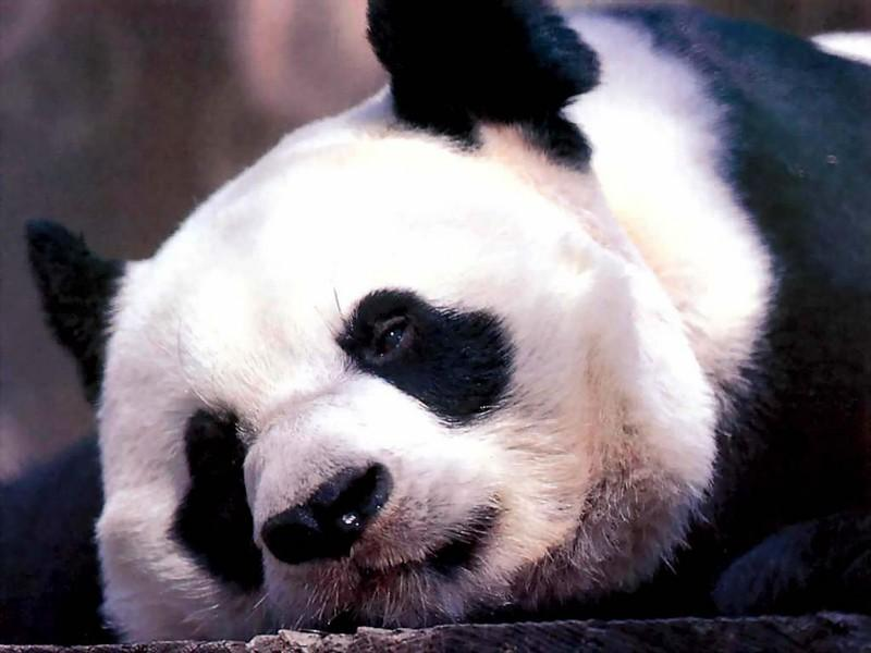 Wallpaper panda Animaux