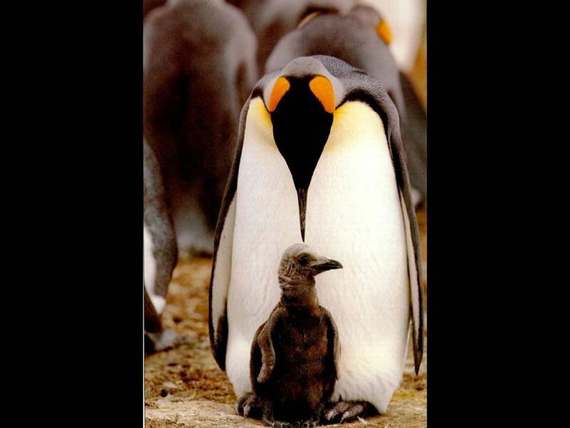 Wallpaper Animaux pingouin