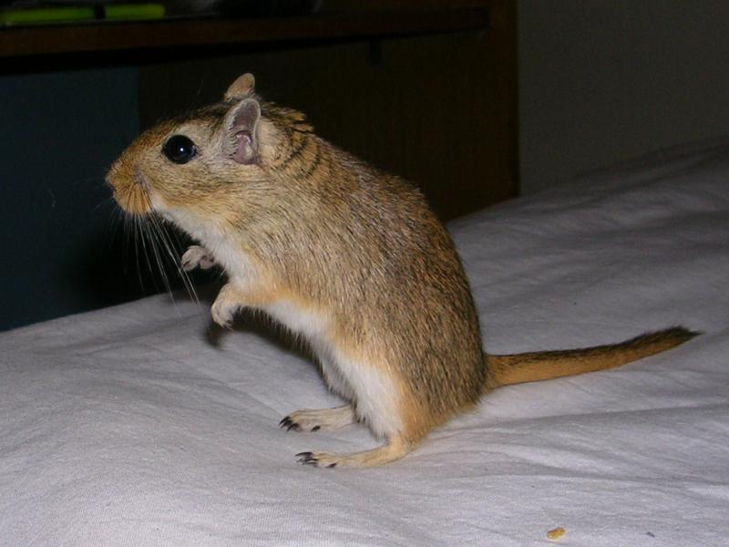 Wallpaper Animaux rat