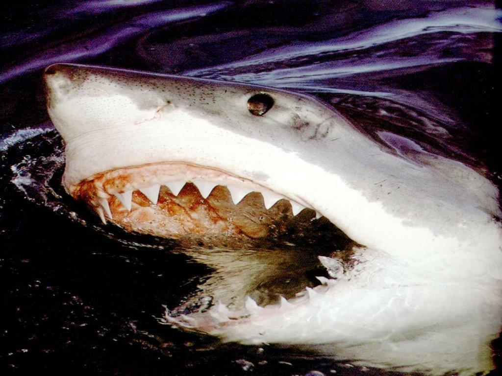 Wallpaper requin Animaux