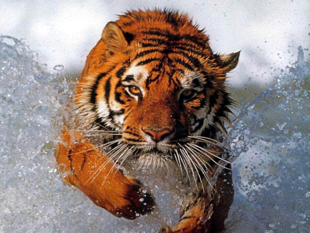 Wallpaper Animaux tigre