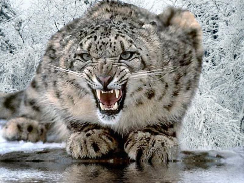 Wallpaper Animaux tigrou
